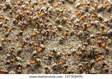 Ant Colony Looking For Food - stock photo