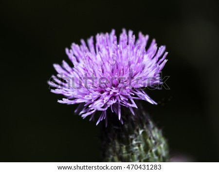 Ant farming Aphids - Single thistle flower