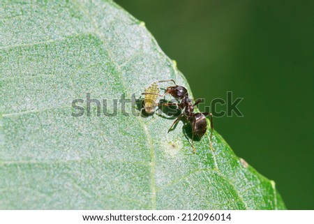 ant grazing one aphid on leaf of walnut tree close up - stock photo