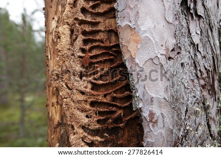 Ant Lasius platythorax nest structure at dead wood, half covered by pine bark. Photographed at N6va, North-West of Estonia, Europe.  - stock photo