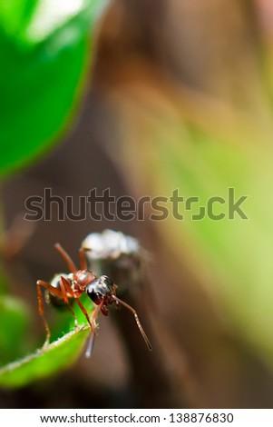 Ant Macro - stock photo