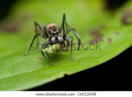 Ant mimic jumping spider with prey