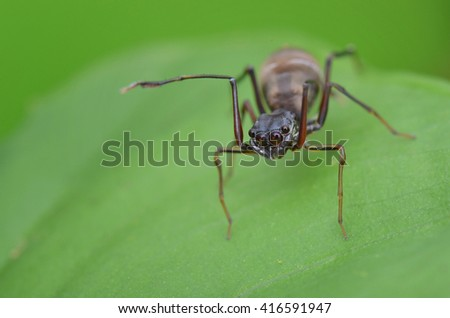 Ant mimic spider , female