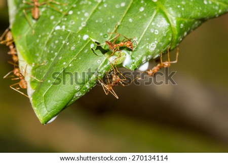 Ant nests on tree , Red Ants nesting - stock photo