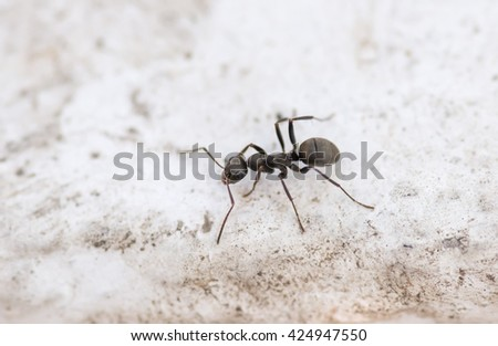 Ant on concrete surface. Macro with shallow depth of field. - stock photo