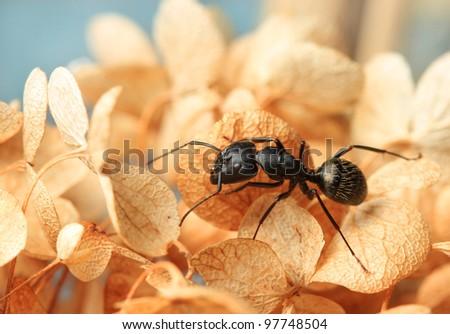 Ant on dried Hydrangea