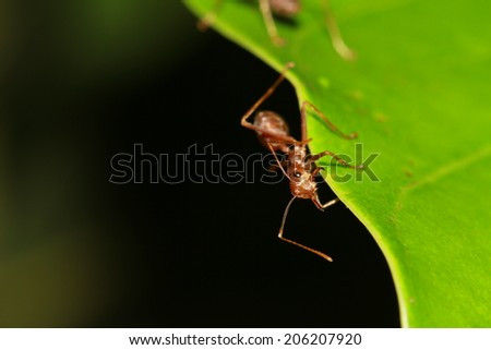 Ant on Leaf - stock photo