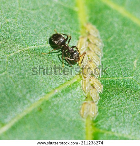 ant pastures aphids group on leaf of walnut tree close up - stock photo