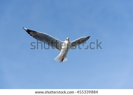 Ant's Eyes View of A Seagull Flying wingspan looking downwards to the Camera with a Very Clear Blue Sky. - stock photo
