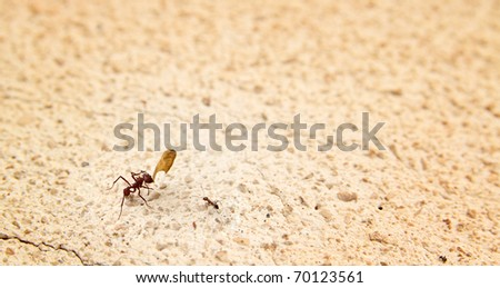 Ant showing a little part of a leave to a little ant - stock photo