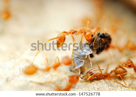 Ant try to move victim back to nest - stock photo