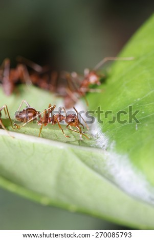 Ant walk on leaf in the garden of Thailand.