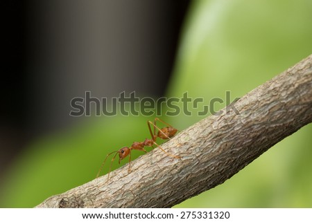 Ant walking on a branch. - stock photo