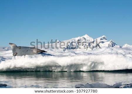 Antarctic Crabeater Seal on Iceberg - stock photo