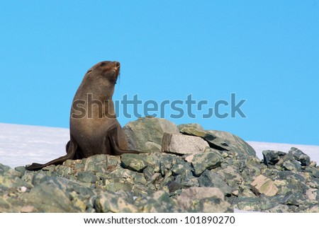Antarctic Fur Seal - stock photo
