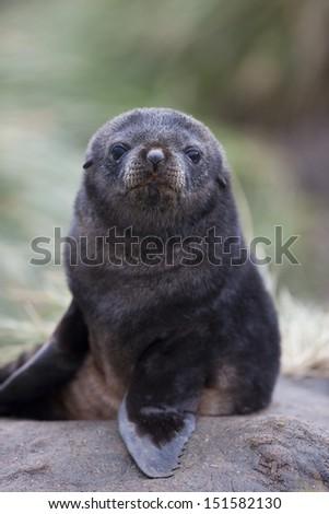 Antarctic Fur Seal (Arctocephalus gazella), pup resting on tussock grass near Salisbury Plain on South Georgia Island. - stock photo