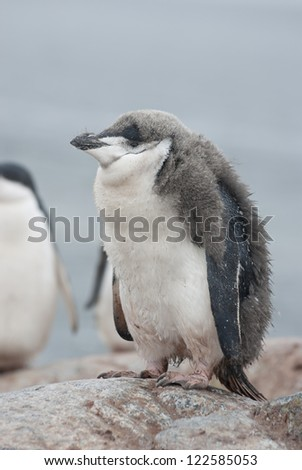 Antarctic penguin (Pygoscelis antarctica) chick who almost molted.