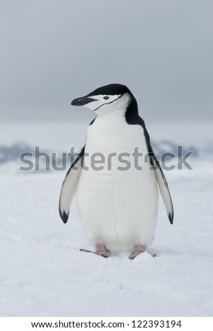 Antarctic penguin (Pygoscelis antarctica) winter overcast day. - stock photo