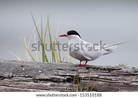 Antarctic Tern (Sterna vittata georgiae), South Georgia subspecies, adult in breeding plumage at Grytviken, South Georgia Island. - stock photo