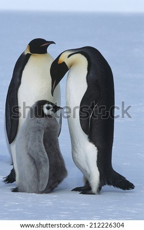 Antarctica, Weddel Sea, Atka Bay, Emperor Penguin Family - stock photo