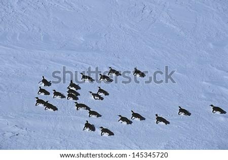 Antarctica Weddell Sea Riiser Larsen Ice Shelf colony of Emperor Penguin - stock photo
