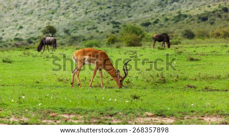 antelope, gazelles in the Masai Mara National Park - Kenya, Eastern Africa, reserve, animal, gazelle, park, wild - stock photo