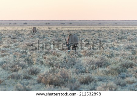 Antelope Gemsbok in the early morning in Etosha National Park - Namibia, South-West Africa - stock photo
