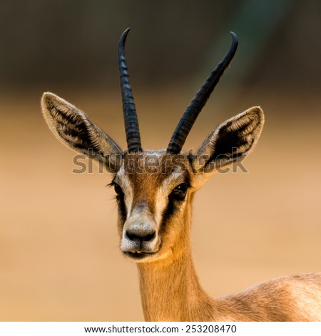 Antelope portrait in the zoo - stock photo