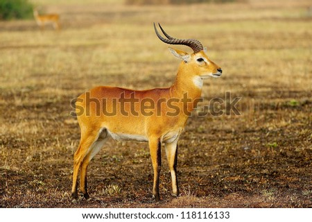 Antelope poses in the desert