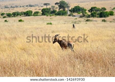 Antelope Topi in the savannah of  Masai Mara national park, Kenya - stock photo
