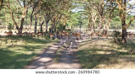 antelopes and zebras on a background of road. Safari in Africa - stock photo
