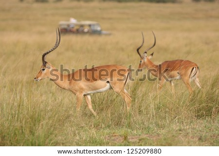 Antelopes grazing in the savanna, watched by the tourists