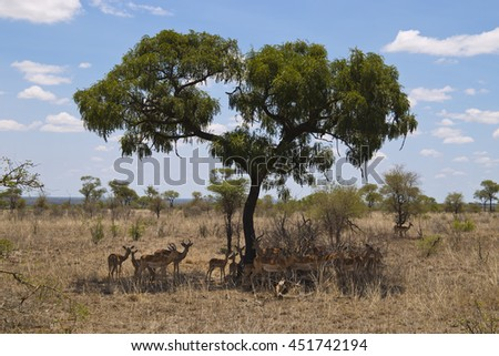 Antelopes hiding under a tree in the kruger national park South Africa