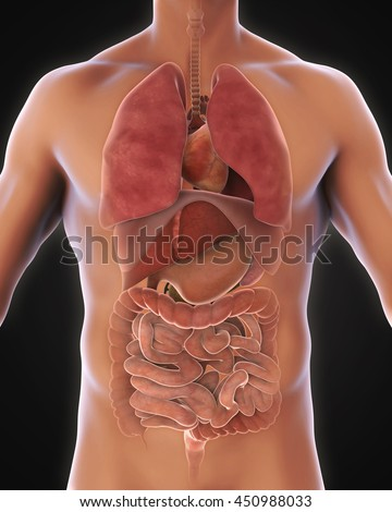Anterior View of Human Body Illustration. 3D rendering