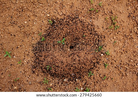 Anthill closeup. Photographed on a sunny day in the street. Colonial insects. - stock photo