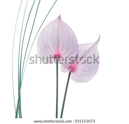 anthurium flower isolated white background effect vintage