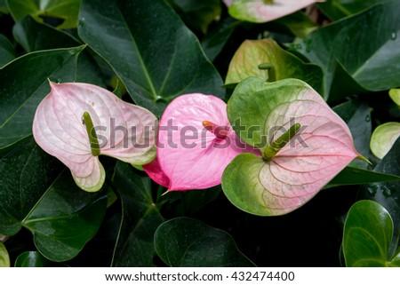 Anthurium or flamingo flower bloom in garden.Flamingo flowers.flamingo lily - stock photo