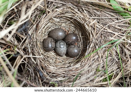 Anthus trivialis. The nest of the Tree Pipit in nature. Russia, the Ryazan region (Ryazanskaya oblast), the Pronsky District. - stock photo