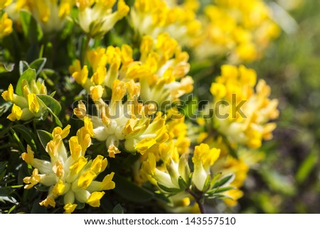 Anthyllis vulneraria mountain flowers in the German alps - stock photo