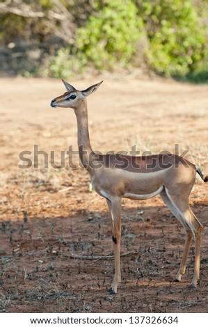 Antilope in Tsavo National Park Kenya - stock photo