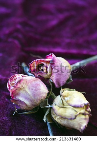 Antique Dead Roses on Velvet Still Life - stock photo