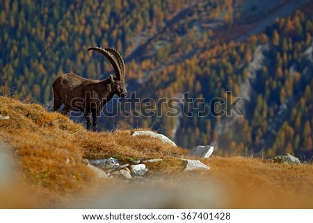 Antler Alpine Ibex, Capra ibex ibex, animal in the nature habitat, with autumn orange larch tree and rocks in background, National Park Gran Paradiso, Italy - stock photo