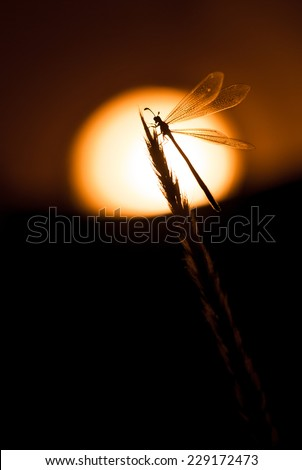 Antlion (Myrmeleon sp.) at sunrise perched on a twig. Patagonia, Argentina, South America.