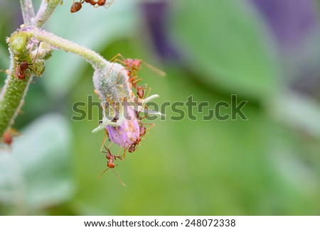 Ants and Aphids on eggplant flower green leaf. - stock photo