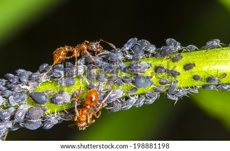 Ants and Aphids on green leaf - stock photo