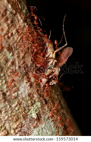 Ants are carrying the remains of grasshoppers. - stock photo