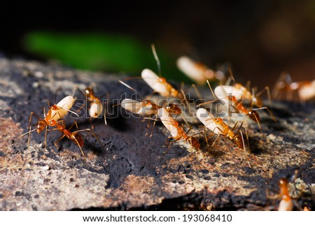 ants are moving their egg. - stock photo