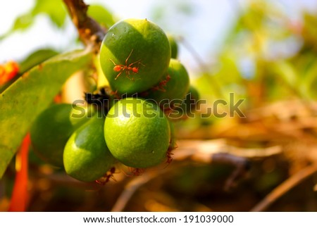 Ants are on the little fruit which are on the trees. There are many of them coming out finding their foods.  - stock photo