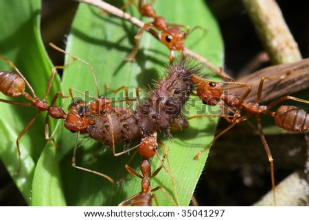 Ants at work moving food a teamwork concept