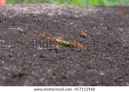 Ants at work teamwork concept, Red ants. Red Weaver Ants tearing their prey apart. Red weaver ants.Red weaver ants teamwork.Red ants team work - stock photo